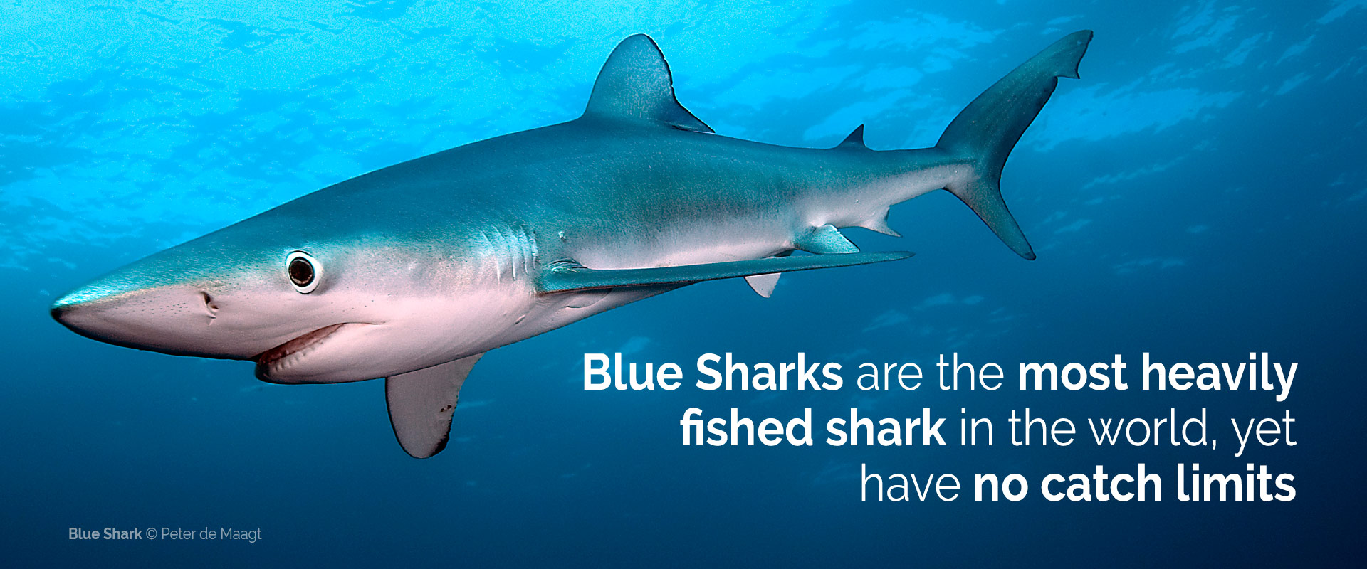no limits no future let s stop uncontrolled shark fishing now